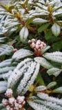 Frost na planta Fotografia de Stock
