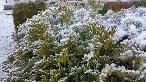 Frost na planta Imagens de Stock