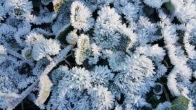 Frost na planta Foto de Stock Royalty Free
