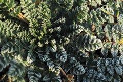 Frost na planta selvagem com roseta laçado sae Foto de Stock