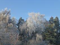 Frost nas árvores Fotografia de Stock Royalty Free