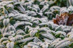 Frost nas folhas do verde no inverno adiantado Imagens de Stock Royalty Free