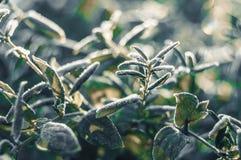 Frost nas folhas do verde no inverno adiantado Imagem de Stock Royalty Free