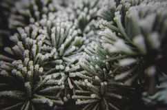 A frost on needles royalty free stock image