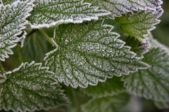 Frost on nettle. Leaves showing detail Royalty Free Stock Photography