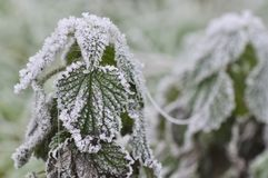 Frost on nettle Stock Images