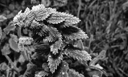 Frost nettle plant Royalty Free Stock Image