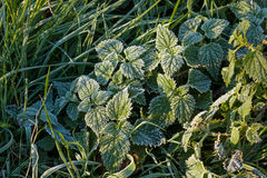 Frost on Nettles Stock Images