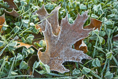 Frost on Oak Leaf Stock Photo