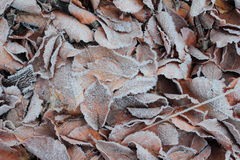Frost on old fallen leafs Royalty Free Stock Photos