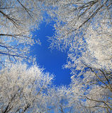 Frost On Trees Royalty Free Stock Image