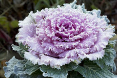 Frost on ornamental cabbage. Royalty Free Stock Photography