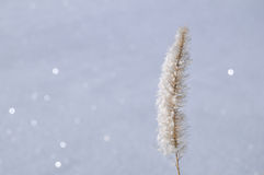Frost on Ornamental Grass Stock Image