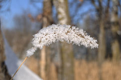 Frost on Ornamental Grass Royalty Free Stock Images