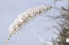 Frost on Ornamental Grass Royalty Free Stock Photos