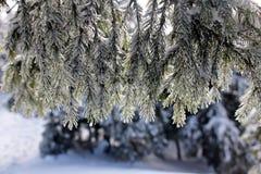 Frost på en sörjafilial Arkivfoto