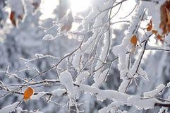 Frost på filialer för ett träd Fotografering för Bildbyråer