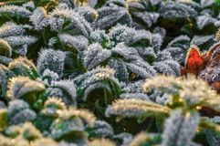 Frost på gröna sidor i tidig vinter arkivbilder