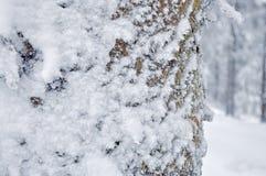 Frost på Pine trädstammen Arkivfoton
