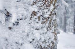Frost på Pine trädstammen Royaltyfri Bild