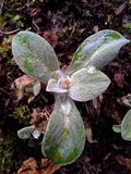 Frost in Perennial Cornflower / Centaurea Montana Leaves Stock Image