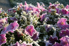 Frost on the Petunia Royalty Free Stock Photo