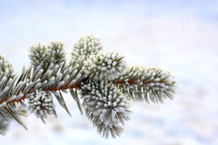 Frost pine. A frost covered pine tree branch Royalty Free Stock Image