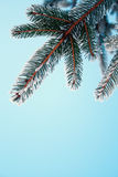 Frost on Pine. Pine tree covered with frost, against the blue sky royalty free stock images