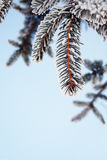 Frost on Pine. Pine tree covered with frost, against the blue sky Stock Photography