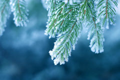 Frost on Pine Stock Image