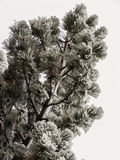 Frost on Pine Stock Images