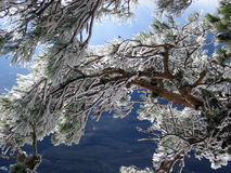 Frost. Pine branch sunny distance forest joy mood ice winter seasons stock photography