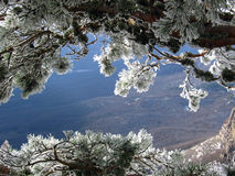 Frost. Pine branch sunny distance forest joy mood ice winter seasons Royalty Free Stock Photos