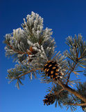 Frost and pine cone. Jack frost and pine cone in winter royalty free stock photo