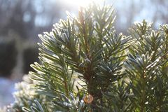 Frosted bush with sun stock image