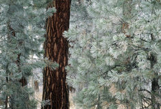 Frost on pine needles Stock Images