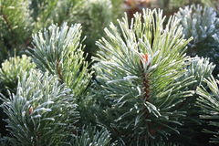 Frost on pine needles Royalty Free Stock Image