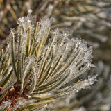 Frost on Pine Needles Stock Photo