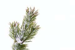 Frost on pine tree Royalty Free Stock Image