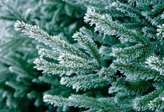 Frost on Pine Tree. Pine tree branches covered with snow/frost in cold tones Stock Photography