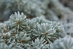Frost on Pine Tree Royalty Free Stock Photography