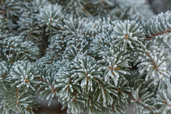 Frost on Pine Tree Stock Photography
