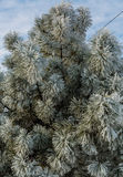 Frost on Pine Tree Royalty Free Stock Photos