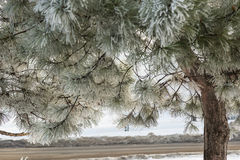 Frost on Pine Tree Stock Photo