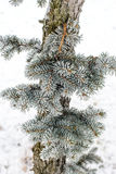 Frost on Pine Tree. Pine tree branches covered with snow/frost in cold tones Stock Photos
