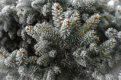 Frost on Pine Tree. Pine tree branches covered with snow/frost in cold tones Stock Photo