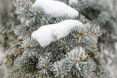 Frost on Pine Tree. Pine tree branches covered with snow and frost in cold tones Royalty Free Stock Photos