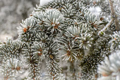 Frost on Pine Tree Stock Photos