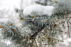 Frost on Pine Tree. Pine tree branches covered with snow and frost in cold tones Stock Image