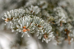 Frost on Pine Tree. Pine tree branches covered with snow/frost in cold tones Royalty Free Stock Image